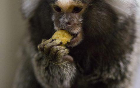 Swaim: Monkeys aren't pets