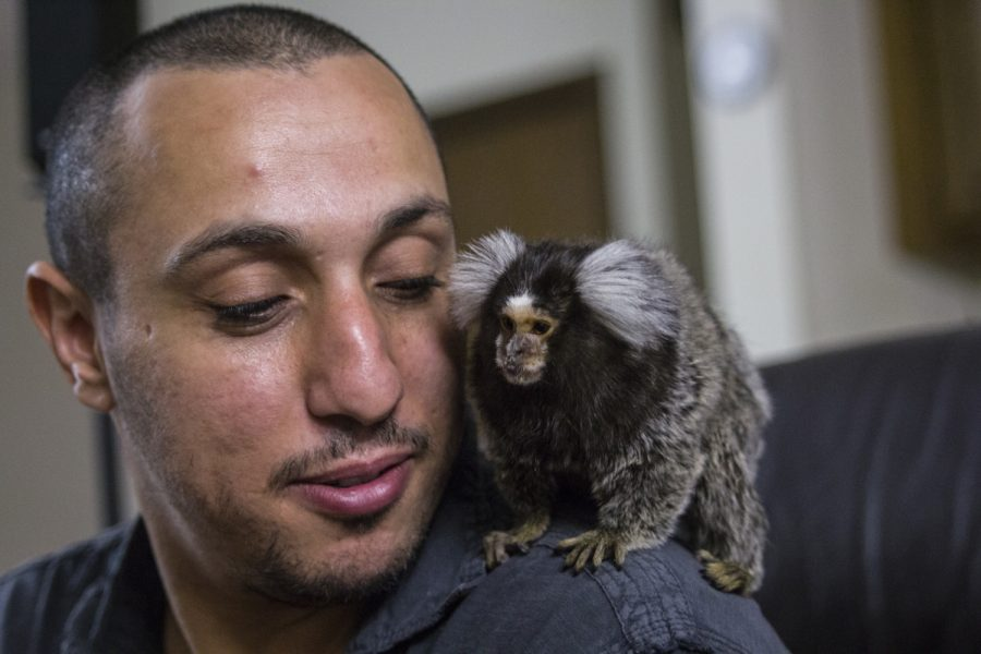 Beba+the+marmoset+sits+on+her+owner+Muhamad+Mansour%27s+shoulder+in+August.+The+Arabic+verson+of+Beba%27s+name+means+my+love.