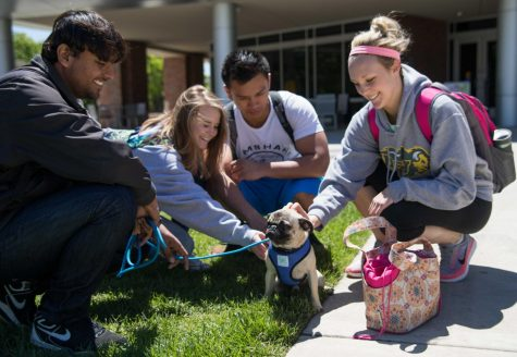 A group of students huddle around a pug during the Pet-A-Pug event held outside the Rhatigan Student Center on Monday from 11-1 p.m. The event is held annually during the spring semester to help students relieve stress before finals. (May 1, 2017)