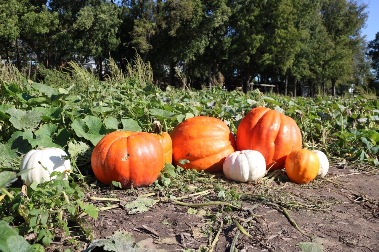Walter's Pumpkin Patch is located off of Highway 77 in Burns, Kansas.