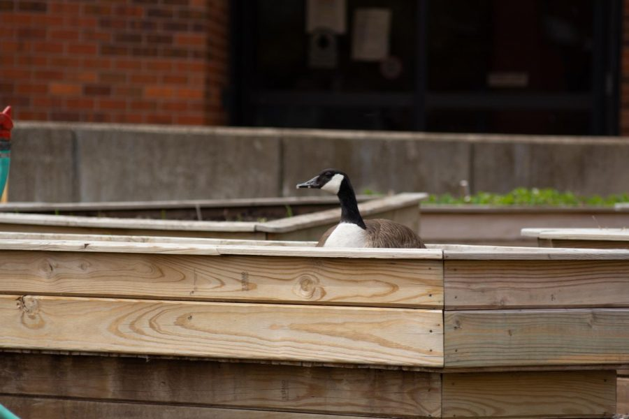 A goose watches members of the Green Group plant at the WSU Community Garden on Wednesday during their Earth Day Event.