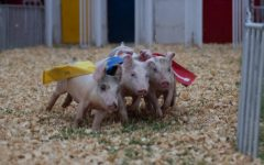 Piglets race for a fried Oreo at the Kansas State Fair.