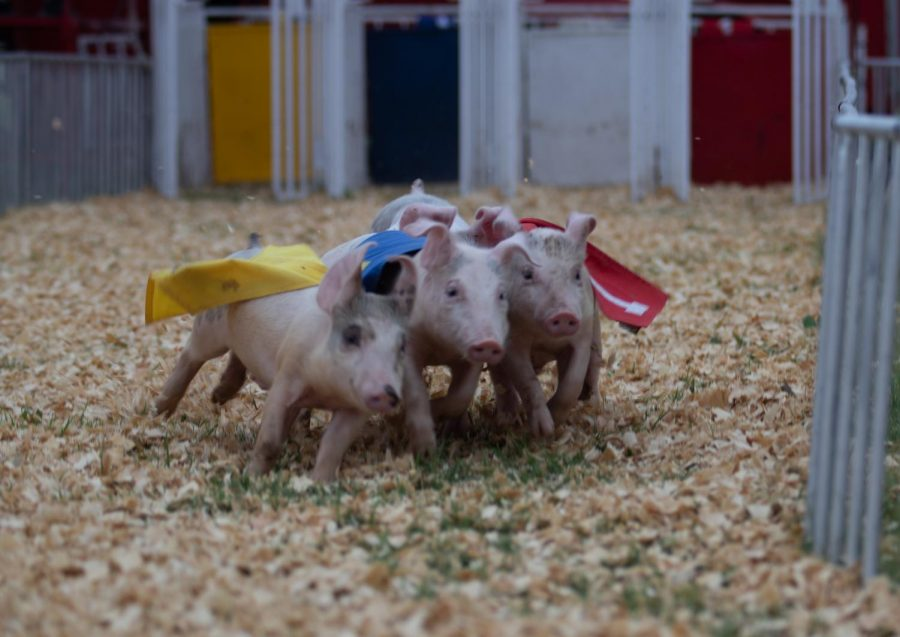Piglets+race+for+a+fried+Oreo+at+the+Kansas+State+Fair.